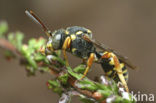 Zwartsprietwespbij (Nomada flavopicta)