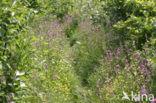 Dagkoekoeksbloem (Silene dioica)