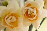 Narcis (Narcissus spec.)