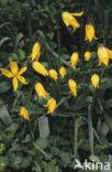 Bostulp (Tulipa sylvestris)