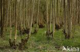 Gewone es (Fraxinus excelsior)