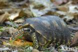 Bronzen helmschildpad (Geochelone denticulata)