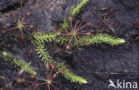 Moeraswolfsklauw (Lycopodiella inundata)