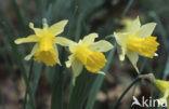 Wilde narcis (Narcissus pseudonarcissus ssp.pseudonarcissus)