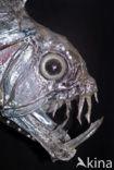 Addervis (Chauliodus sloani)