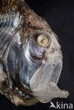 Bijlvis (Argyropelecus hemigymnus)
