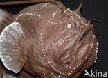 Hengelvis (Phrynichthys wedli)