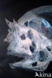 Hengelvis (Edriolychnus schmidti)