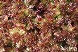 Veenmos (Sphagnum spec.)