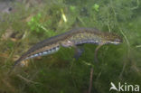 Vinpootsalamander (Lissotriton helveticus)