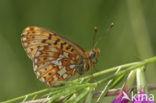 Zilvervlek parelmoervlinder (Boloria euphrosyne)