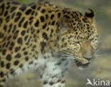 Amoer panter (Panthera pardus orientalis)