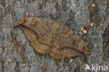 Bruine eenstaart (Drepana curvatula)