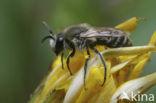 Donkere Zijdebij (Colletes marginatus)