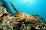 Pharao cuttlefish (Sepia pharaonis)