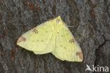 Hagedoornvlinder (Opisthograptis luteolata)