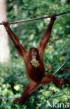 Orang oetan (Pongo pygmaeus)