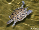 Zaagrugschildpad (Graptemys pseudogeographica)