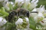Zuidelijke zijdebij (Colletes similis)