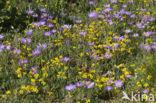 Alpenaster (Aster alpinus subsp. cebennensi)