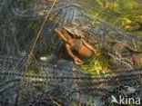 Heikikker (Rana arvalis)