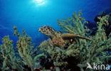 Karetschildpad (Eretmochelys imbricata)