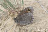 Kleine heivlinder (Hipparchia statilinus)