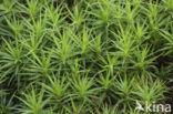 Fraai haarmos (Polytrichum formosum)