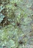 Gewone hooiwagen (Phalangium opilio)