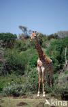 Giraffe (Giraffa camelopardalis spec.)