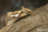 Goudvenstertje (Plusia festucae)