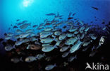 Elongate surgeonfish (Acanthurus mata)