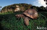 Panterschildpad (Testudo pardalis babcocki)