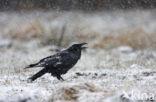 Raaf (Corvus corax)