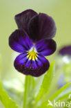 Viooltje (Viola spec.)