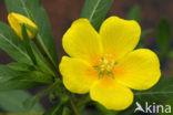 Waterteunisbloem (Ludwigia grandiflora)