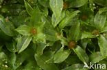 Gewoon krulmos (Funaria hygrometrica)