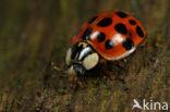 Veelkleurig aziatisch lieveheersbeestje (Harmonia axyridis)