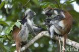 Zanzibarfranjeaap (Piliocolobus kirkii)
