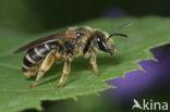 Halictus longobardicus