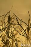 Snor (Locustella luscinioides)
