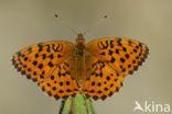 Braamparelmoervlinder (Brenthis daphne)