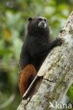 Bruinrugtamarin (Saguinus fuscicollis)