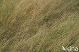 Gewoon struisgras (Agrostis capillaris)