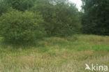 Grote ratelaar (Rhinanthus angustifolius)