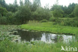 Waterlelie (Nymphaea spec.)