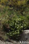Zonneroosje (Cistus salviifolius)