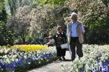 Hyacint (Hyacinthus spec)