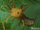 Kamsalamander (Triturus cristatus)