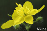 Stinkende gouwe (Chelidonium majus)